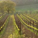 Le vigne della Fattoria del Colle