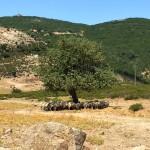 Pecorelle sui monti di Urzulei