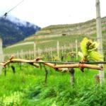 Abbey Neustift vineyards